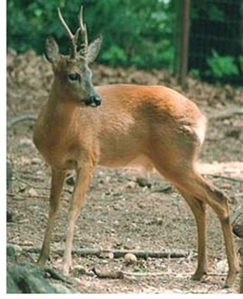 Boreal Forests of the World Mammal Species - Western Roe Deer